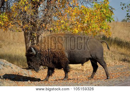 American Bison Buffalo In Autumn On A Wildlife Preserve