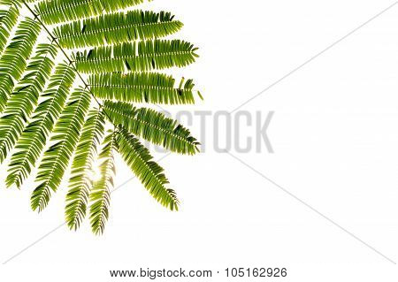 Green Leaf On White Background, Isolated , Space Caption