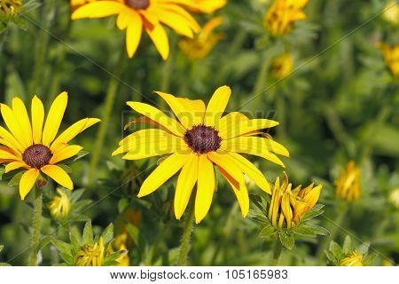 Yellow Cornflower (echinacea)