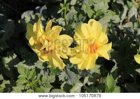 Yellow dahlia annuals on the flowerbed