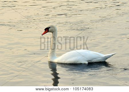 White Mute Swan (cygnus Olor) On The River