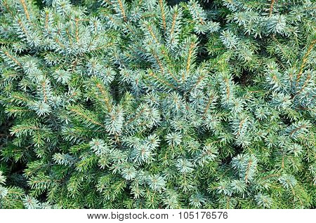 The blue spruce, green spruce.