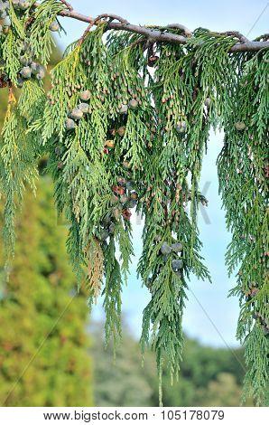 Cupressus nootkatensis