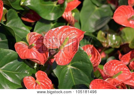 Red Anthurium Red waxy leaf flower
