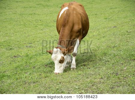 Brown cow grazing