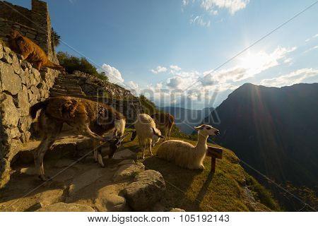 Llamas In Backlight At Machu Picchu, Peru