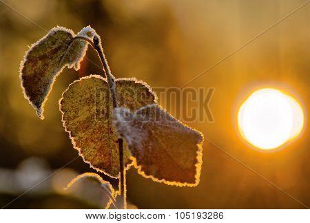Frozen Birch Leaves