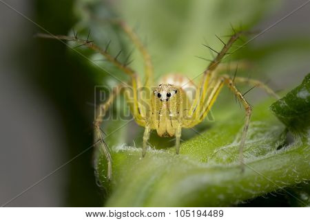 Lynx Spider On Leaf, Insect Background