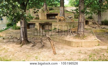 USA, WASHINGTON - AUG 28, 2014: Many beautiful wild lions walk in green aviary in Smithsonian National Zoo