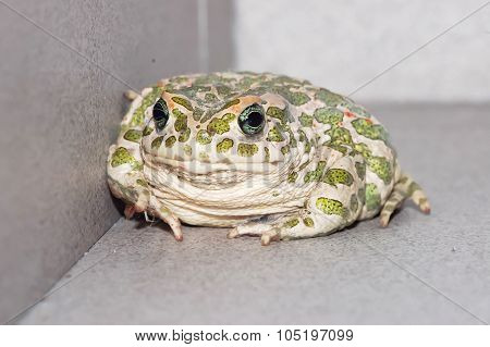 Common European Toad
