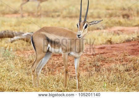 Grant's Gazelle In Tsavo East, Kenya