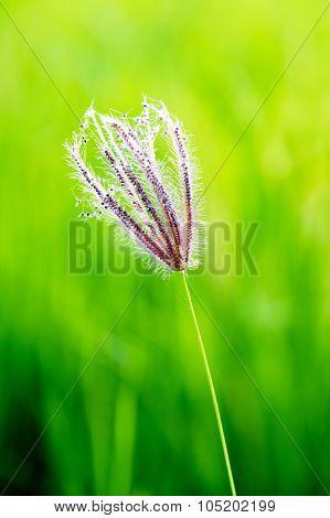 Close up Swollen finger grass (Chloris barbata Sw.)