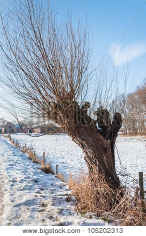 Old Pollard Willow Tree In The Snow
