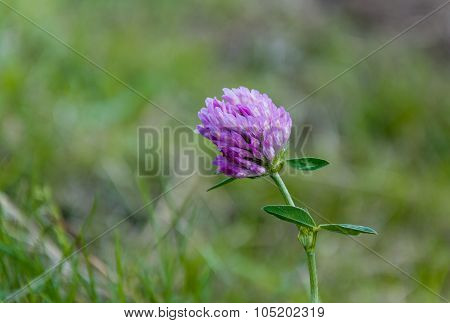 One Dark Pink Blooming Clover