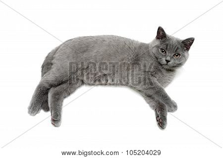 Small Gray Kitten Lies On A White Background