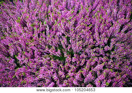 Heather Flowers In Purple Color