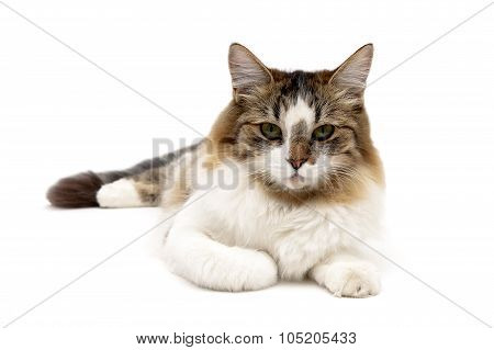 Fluffy Cat Lies On A White Background Close-up