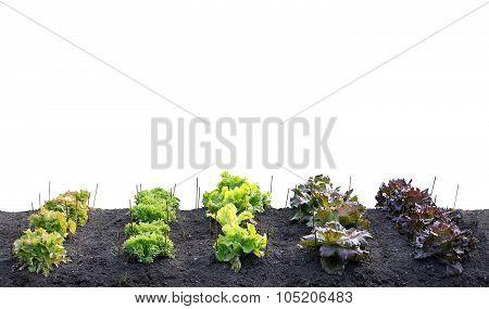 Various Leafy Green Salats