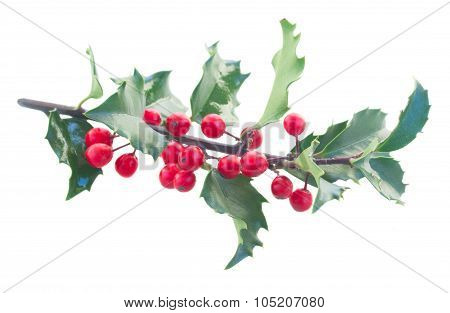 Holly fresh branch