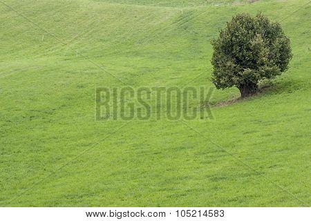 Alone Tree On Green Meadow.