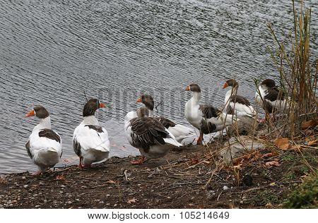 Gooses.
