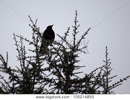 Crow On A Treetop Against White