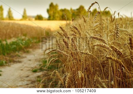 Wheat ears on the roadside