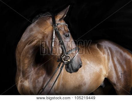 Hungarian Warmblood Brown