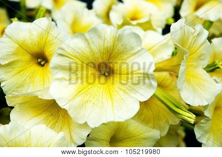 Yellow Flowers Gramophones