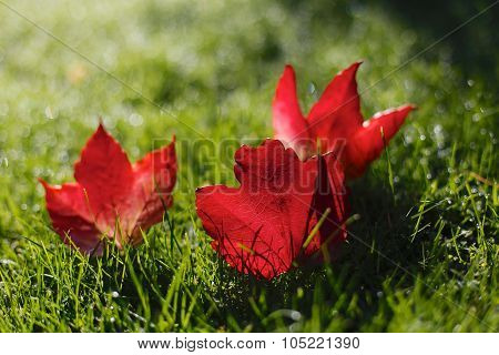 Beautiful Red Autumn / Fall Leaves