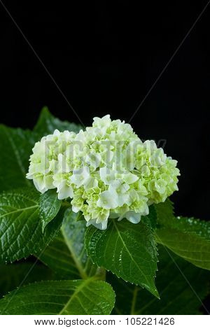 Beautiful Hortensia Flower