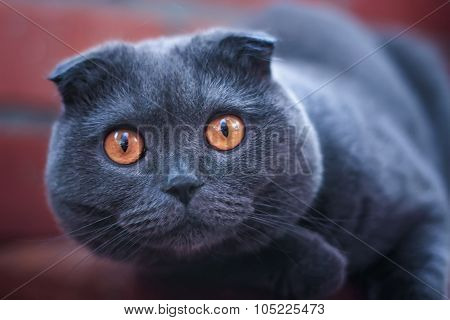 Cat Looking At The Camera Wild Glance Bulging Eyes