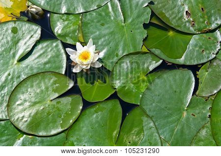 Water Lily Flower On Lake