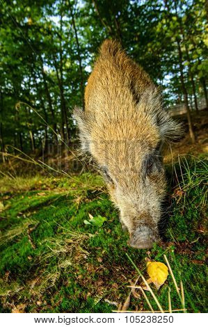 Sniffing Wild Boar Juvenile From Closeup Wide Angle View