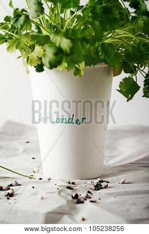 Cilantro Coriander Herb Growing In A Paper Cup