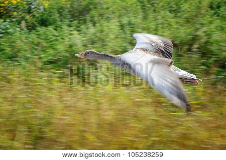 Greylag Goose In Panning Motion During Flight Upon Field