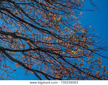 Branches of Autumn Sycamore Leaves