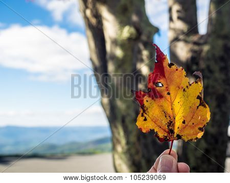 Single Colorful Sycamore Leaf