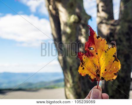 Single Colorful Sycamore Leaf