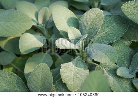 Garden Sage leaves.