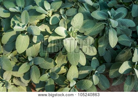 Garden Sage plants