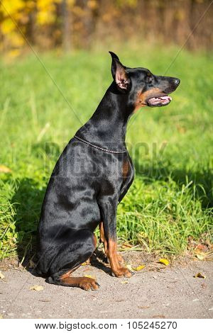 Profile view of the dobermann with lead is sitting on a walkway in park.