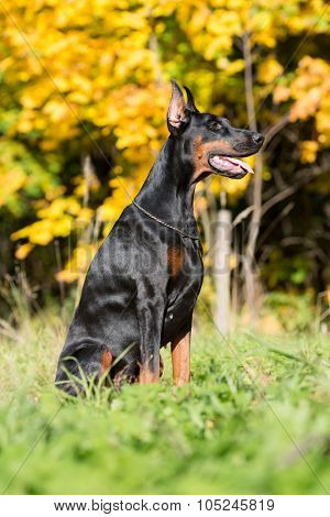 Close up view of the dobermann with lead is sitting on a grass in park.