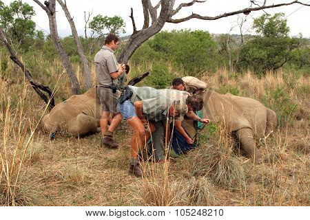 Mother And Calf Rhino Been Wakened With Injection After Dehorning