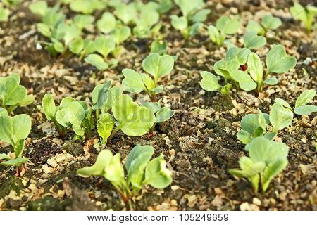 Lush Young Plants Radish In The Soil