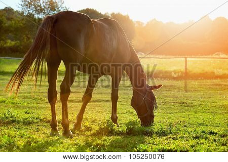 Portrait of a horse grazing in the sun backlight