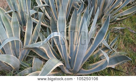 Close-up Of Agave Plants
