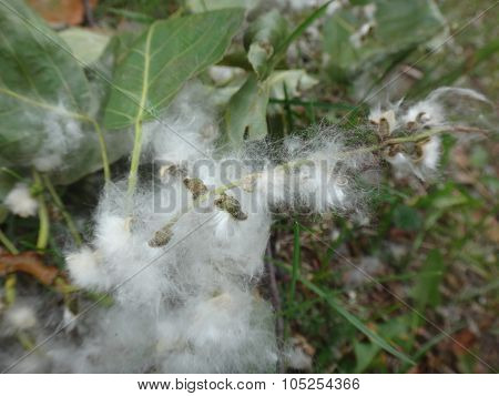 Poplar fluff in the green grass