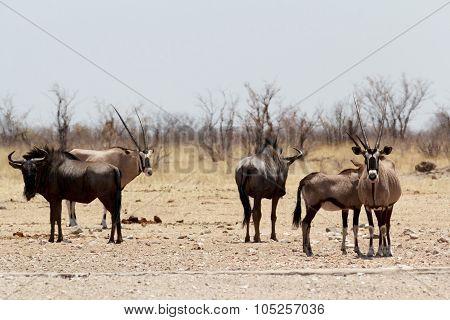 Gemsbok, Oryx Gazella And Gnu In African Bush