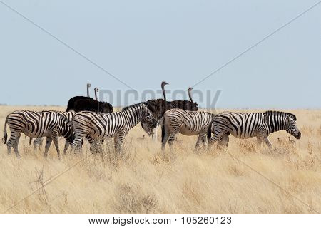 Zebra And Ostrich In African Bush